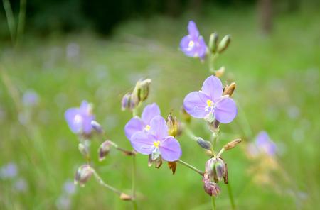 Murdannia giganteum flower in field. Thai violet flower in winter season Фото со стока