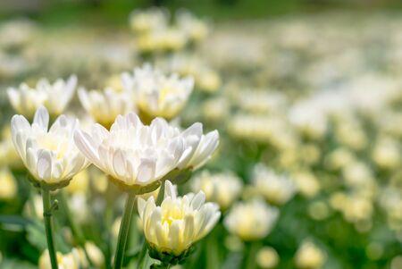 many white Chrysanthemum flower in field