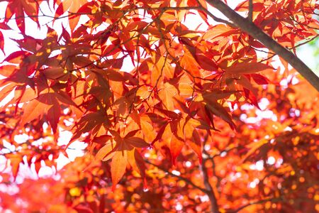 Red maple leaves on tree in natural