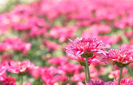 many red pink Chrysanthemum flower in field