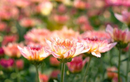 many orange white  Chrysanthemum flower in field