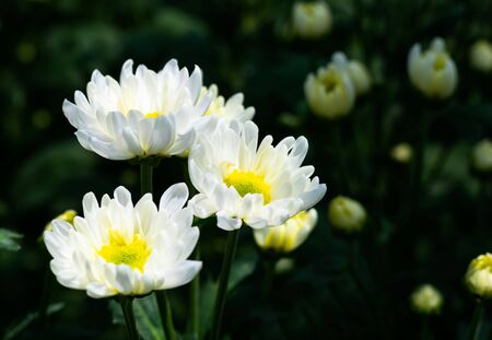White Chrysanthemum flower in field
