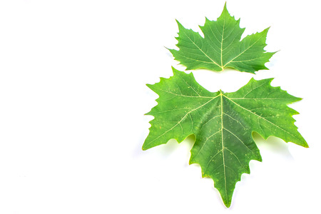 Plane tree, sycamore leaves and flowers isolated on white photo
