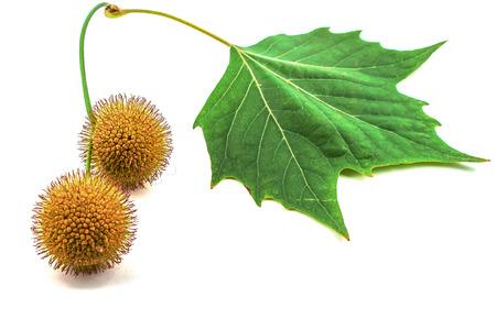 sicomoro: Pl�tano, hojas de pl�tanos y flores aisladas en blanco