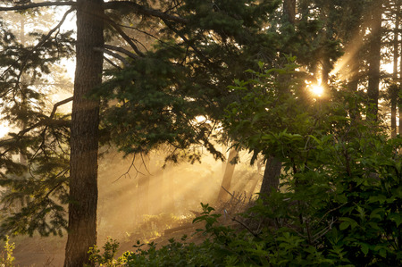 Etheral pine woodlands at foggy morning sunrise