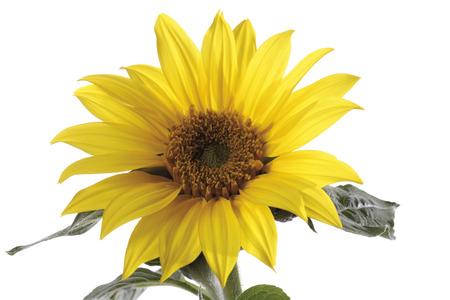 helianthus annuus: Sunflower (Helianthus annuus), close-up