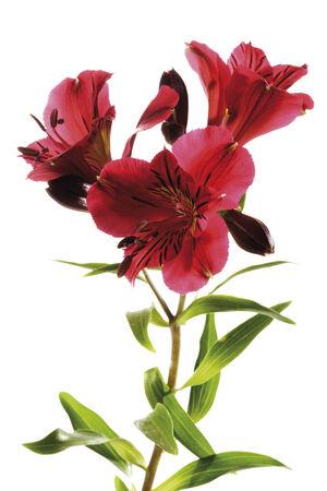 Peruvian Lily, Alstroemeria, close-up photo