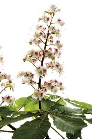 aesculus hippocastanum: Chestnut flowers (Aesculus hippocastanum)