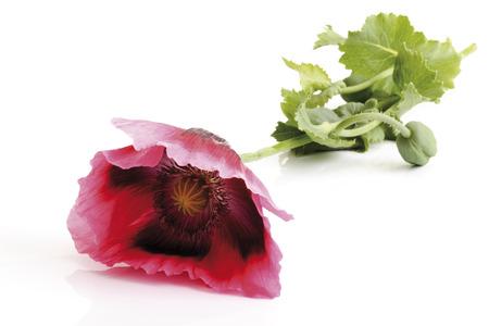 papaver: Opium poppy (Papaver somniferum) Stock Photo