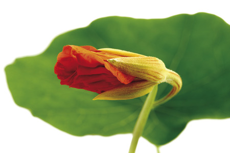 Bud and leaf of nasturtium (Tropaeolum majus), close-up photo
