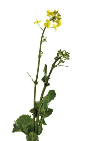 napus: Rape bloom, (Brassica napus), close-up Stock Photo