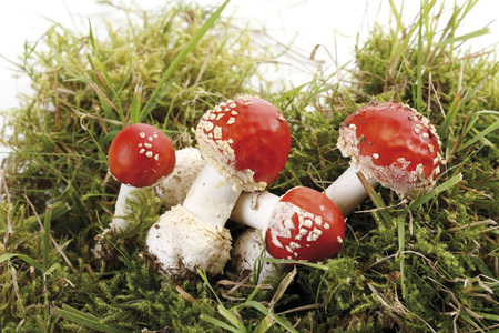 muscaria: Fly agaric mushroom (Amanita muscaria) in patch of moss
