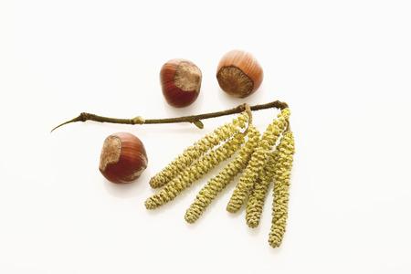 corylus: Hazel catkins (Corylus avellana) and hazelnuts Stock Photo