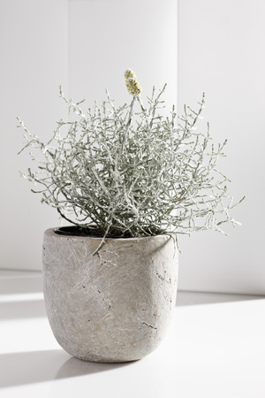 flower pot: Cushion Bush (Calocephalus brownii) in flower pot Stock Photo