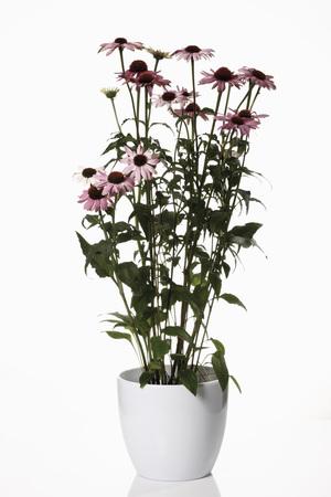 echinacea purpurea: Coneflowers (Echinacea purpurea) in vaso di fiori Archivio Fotografico