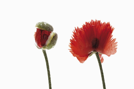oriental poppy: Oriental poppy (Papaver orientale) flower and bud