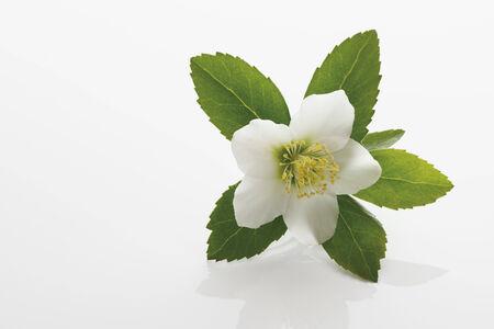 Christmas rose (Hellebore)