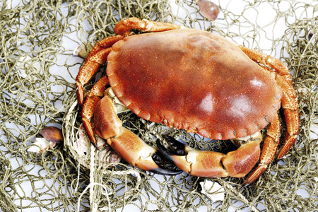 Sea crab photo