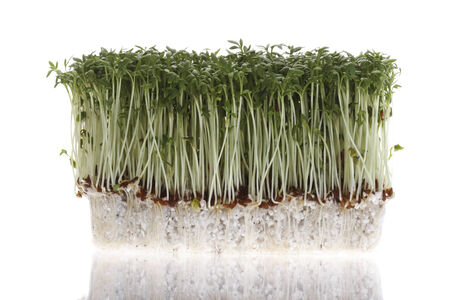 cress: Cress sprouts