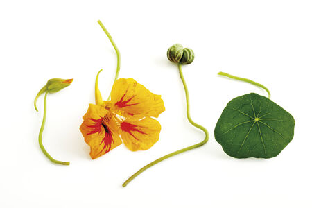 Nasturtium (Tropaeolum majus), close-up photo