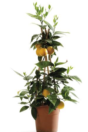 citrus  sinensis: Potted orange tree (Citrus sinensis), close-up