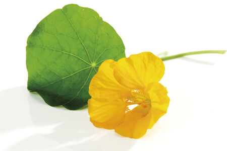 Blossom and leaf of nasturtium (Tropaeolum majus), close-up photo