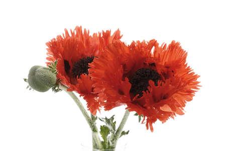 oriental poppy: Oriental poppy [Papaver orientale]