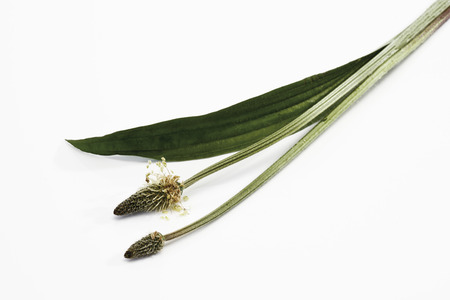 phytotherapy: Ribwort (Plantago lanceolata) on white background