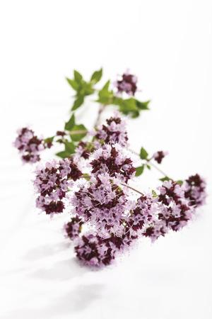 vulgare: Wild Marjoram (Origanum vulgare)