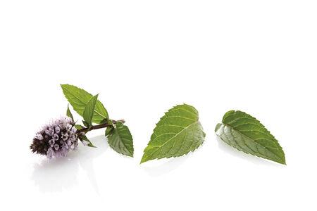 mentha: Menta Blooming ((Mentha x piperita)