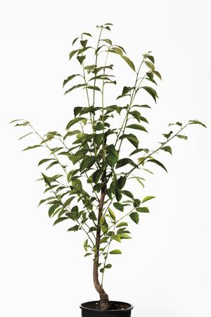 ebony tree: Persimmon tree in flower pot (Diospyros)