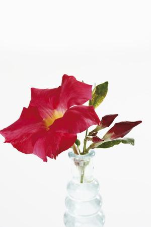dipladenia: Dipladenia fiore (Mandevilla) in vaso di fiori
