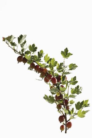 Red Gooseberries (Ribes uva-crispa) on twig