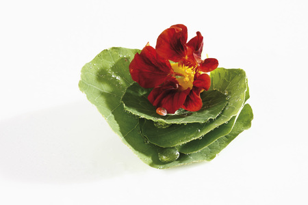 Nasturtium  (Tropaeolum) flower and leaves photo
