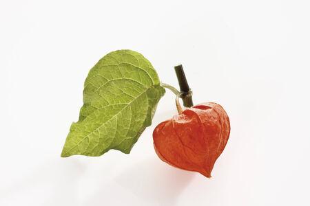 alkekengi: Chinese lantern plant (Physalis alkekengi)