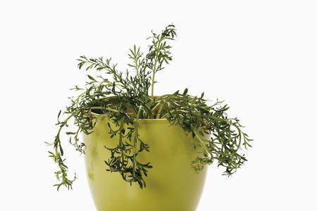 maca: Maca plant  Stock Photo