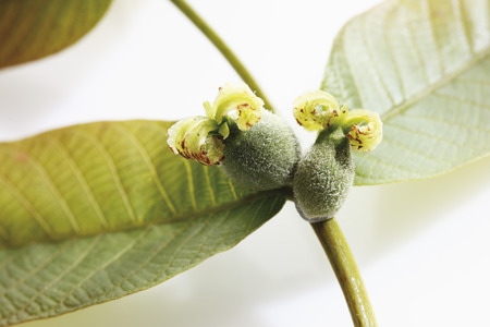 Walnut female inflorescence with leaves Stock Photo