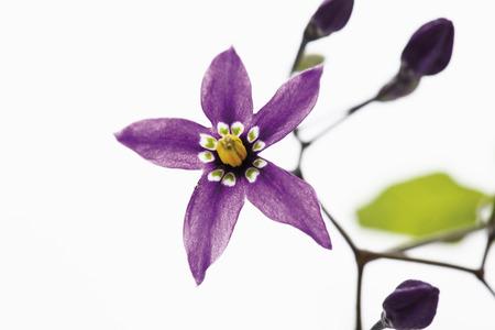 nightshade: Flower and buds of bittersweet nightshade