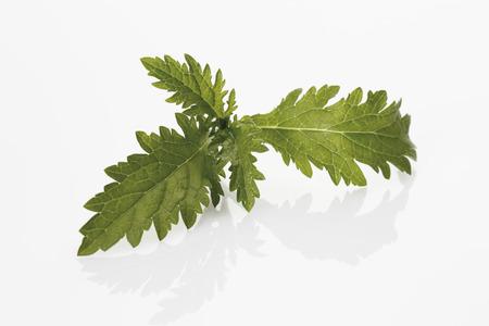 phytotherapy: Common verbena (Verbena officinalis) Stock Photo