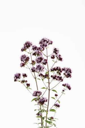 wild marjoram: Wild Marjoram (Origanum vulgare)