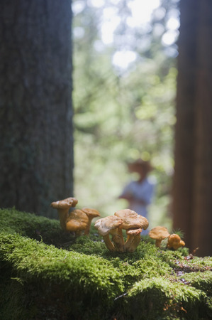 girolle: Chanterelle mushrooms,close up