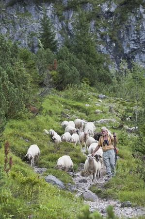 steiermark: Austria, Steiermark, Hiker walking with flock of sheep