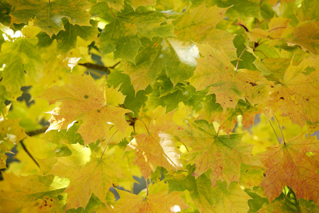 acer platanoides: Germany, Bavaria, Norway Maple (Acer platanoides L.), close up