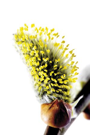 sallow: Sallow, willow catkins, close-up