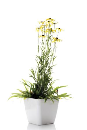 flowerpot: Coneflowers (Rudbeckia fulgida) in flowerpot