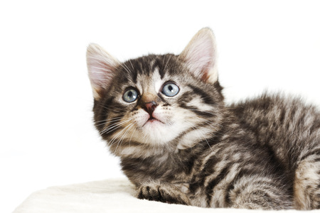 Domestic cat, kitten looking up