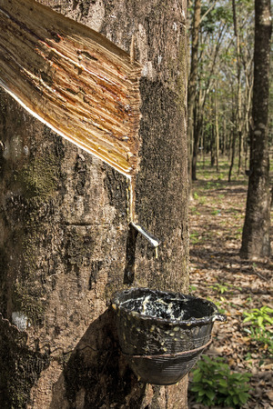 caoutchouc: Milk of rubber tree flows into a wooden bowl Koh Samui Thailand Stock Photo