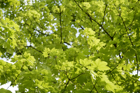 norway maple: Germany, Bavaria, Ebenhausen, Norway maple (Acer platanoides) leaves, close-up