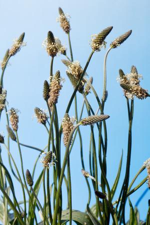Flowering ribwort plantains against blue sky photo