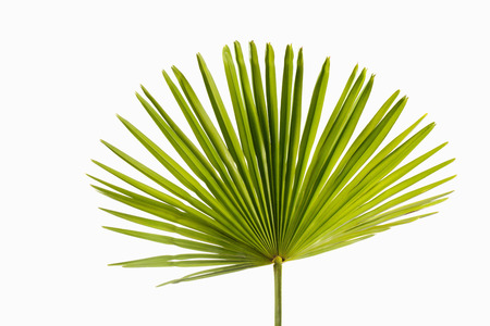 'palm trees': Palm leaf on white background Stock Photo